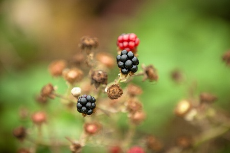 blackberries on branch photo