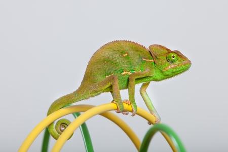veiled: Yemen chameleon