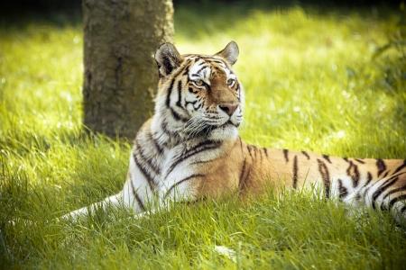 panthera tigris: Siberian tiger