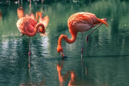 flamenco ave: Flamingos Foto de archivo