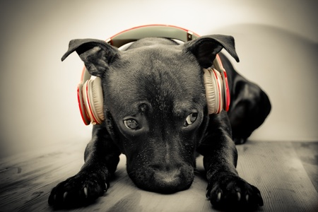 black dog: black bull terrier with headphones
