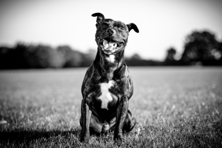 happy black bull terrier  Фото со стока