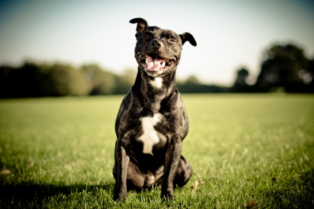 happy black bull terrier  Stock Photo - 15265524