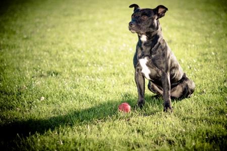 dog walking: happy black bull terrier  Stock Photo