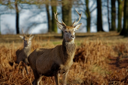 red deer Фото со стока