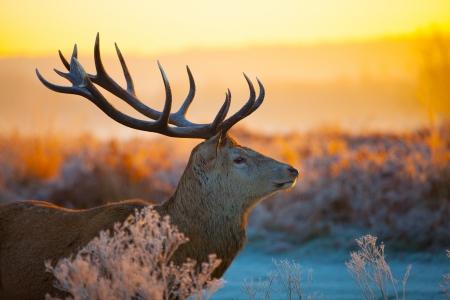 朝日のレッド ・ ディア