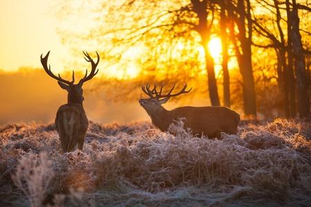 朝太陽でレッド ・ ディア