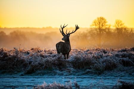 animales del bosque: Red Deer en Morning Sun Foto de archivo