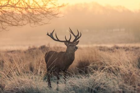 elaphus: Red Deer in Morning Sun