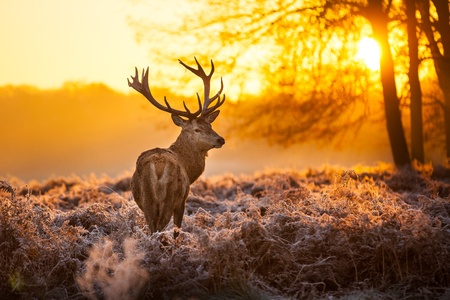 animals hunting: Red Deer in Morning Sun