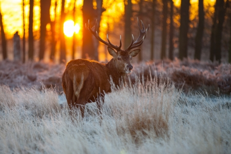 Red Deer in Morning Sun Фото со стока - 16686010