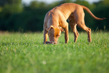 Pit Bull Terrier Stock Photo - 24866135