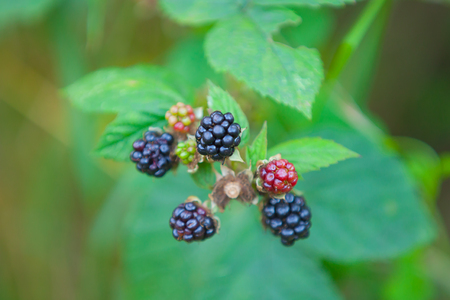 Black berry bush in the garden photo
