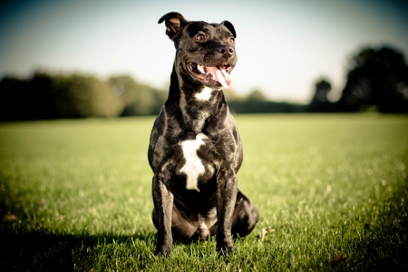happy black bull terrier Stock Photo - 24866303