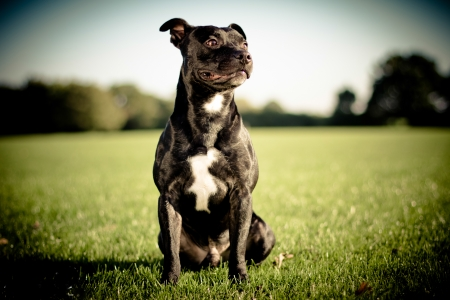 happy black bull terrier photo