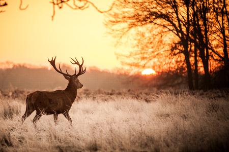veluwe: Red Deer in Morning Sun