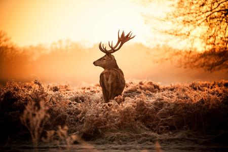 Red Deer in Morning Sun