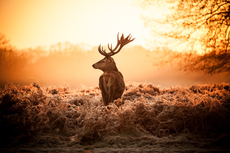 Red Deer in Morning Sun
