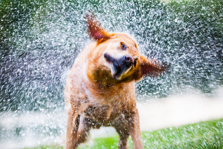 soaking: Labrador Shaking Water off its Body