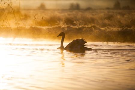 夕暮れ時に湖を泳ぐ白鳥