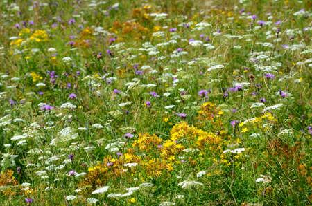 fiori di campo: Fiori di campo
