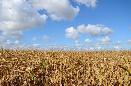 corn field: corn field