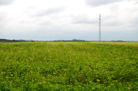 canola plant: rapeseed field