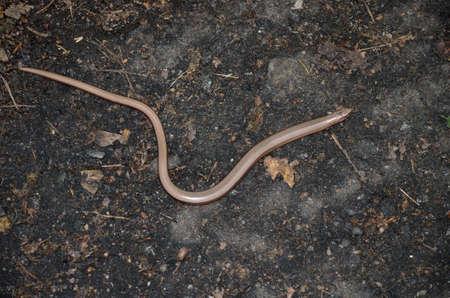 fragilis: Slow worm (Anguis fragilis)