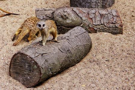 suricate: suricate in zoo