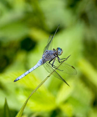 shady: Blue dragonfly on the green background