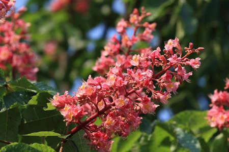 conker: Blossom of horse chestnut tree (Aesculus hippocastanum) Stock Photo