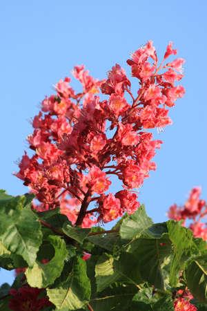 aesculus hippocastanum: Blossom of horse chestnut tree (Aesculus hippocastanum) Stock Photo
