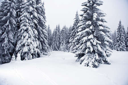 boreal: Beautiful landscape of the boreal forest on a cold winter day with coniferous trees covered with snow.