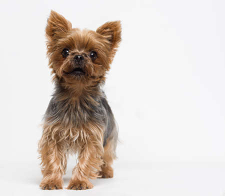 domestic: Very cute puppy of the Yorkshire Terrier on white background