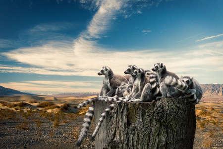 Lemurs on trunk over desert