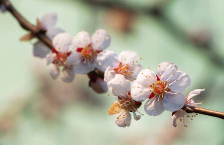 Apricot tree branch with inflorescences on a pastel background. Blooming apricot. The concept of spring awakening.