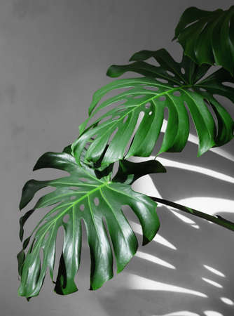 Monstera leaves under daylight with hard shadows against a white concrete wall. Minimalism.