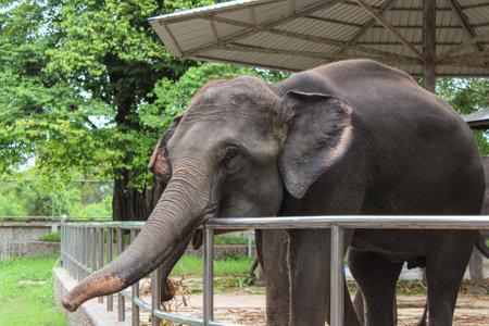 Elephant behind the fence at the zoo. Elephants in captivity.