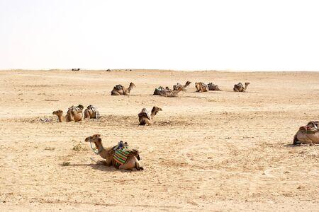 sahara: Camels, Sahara deserts, Tunisia