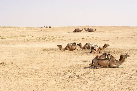 tunisia: Camels, Sahara deserts, Tunisia