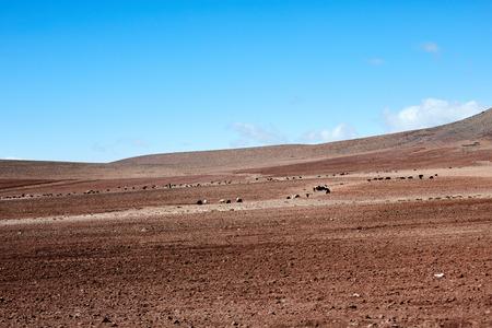 Sheep grazing on a rocky desert. Morocco
