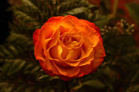 under fire: Flor de fuego en virtud de poca luz Foto de archivo