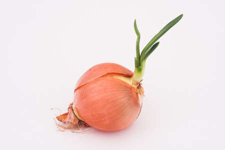 Germinated onion
