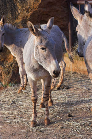 somalian: Somalian Donkey Stock Photo
