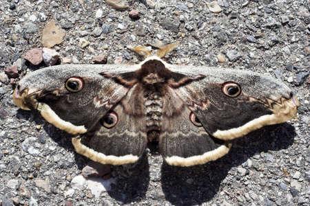 lepidopteran: moth