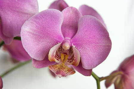 orchid , Phalaenopsis Stock Photo