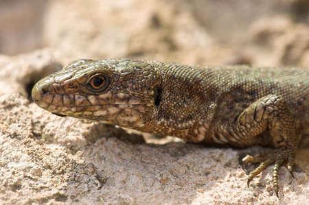 camoflauge: lizard Stock Photo
