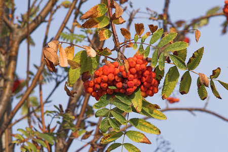 bunchy: berries of mountain ash in autumn Stock Photo
