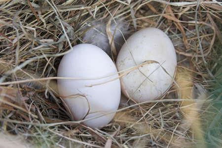 hen eggs in nest
