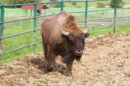 european bison in the zoo